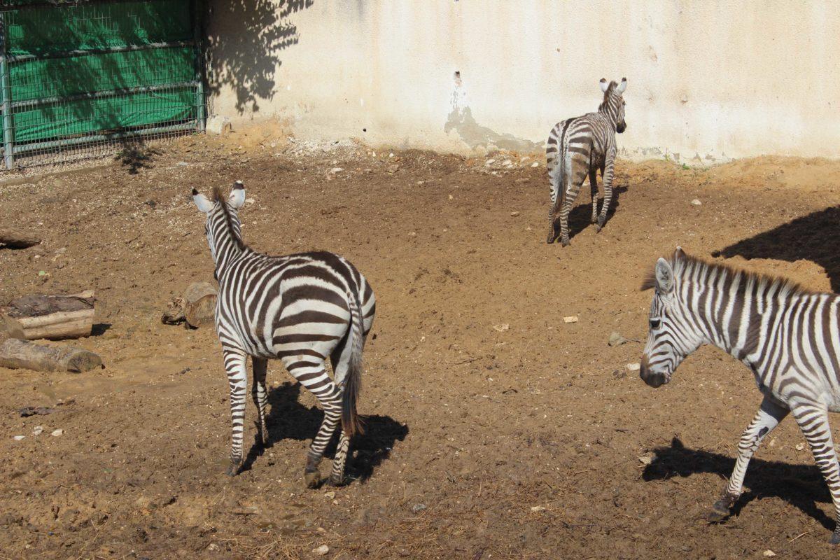 حديقة الحيوانات الوطنية في قلقيلية تتسلم حيوان حمار الوحش عدد (4)