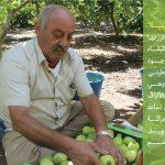 """جوافة قلقيلية"""".. منتوج ذهبي فزرعها وتجارتها رمز البقاء والاصرار الفلسطيني"""