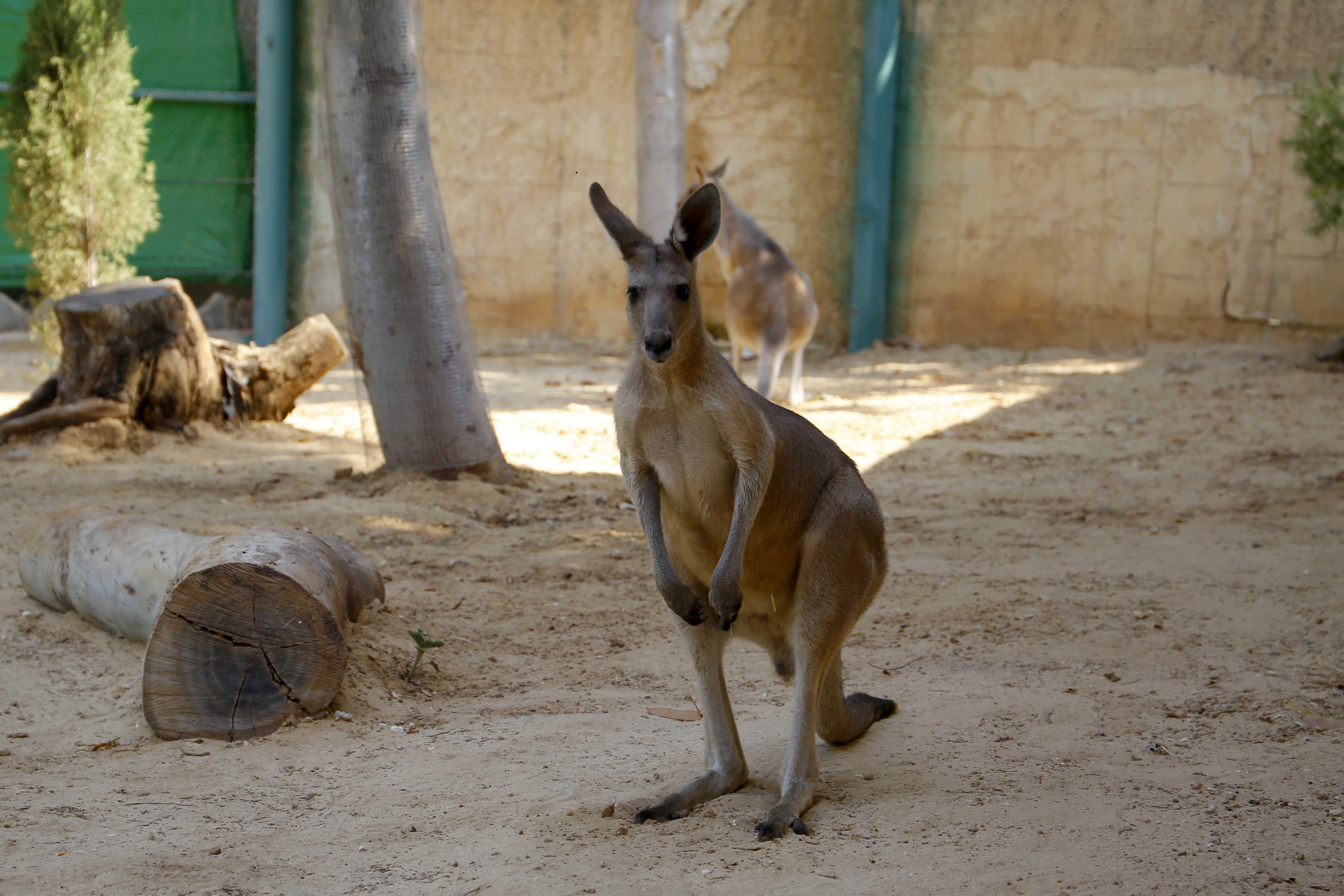 ثلاثة كناغر ضمن المنطقة الاسترالية في حديقة الحيوانات الوطنية