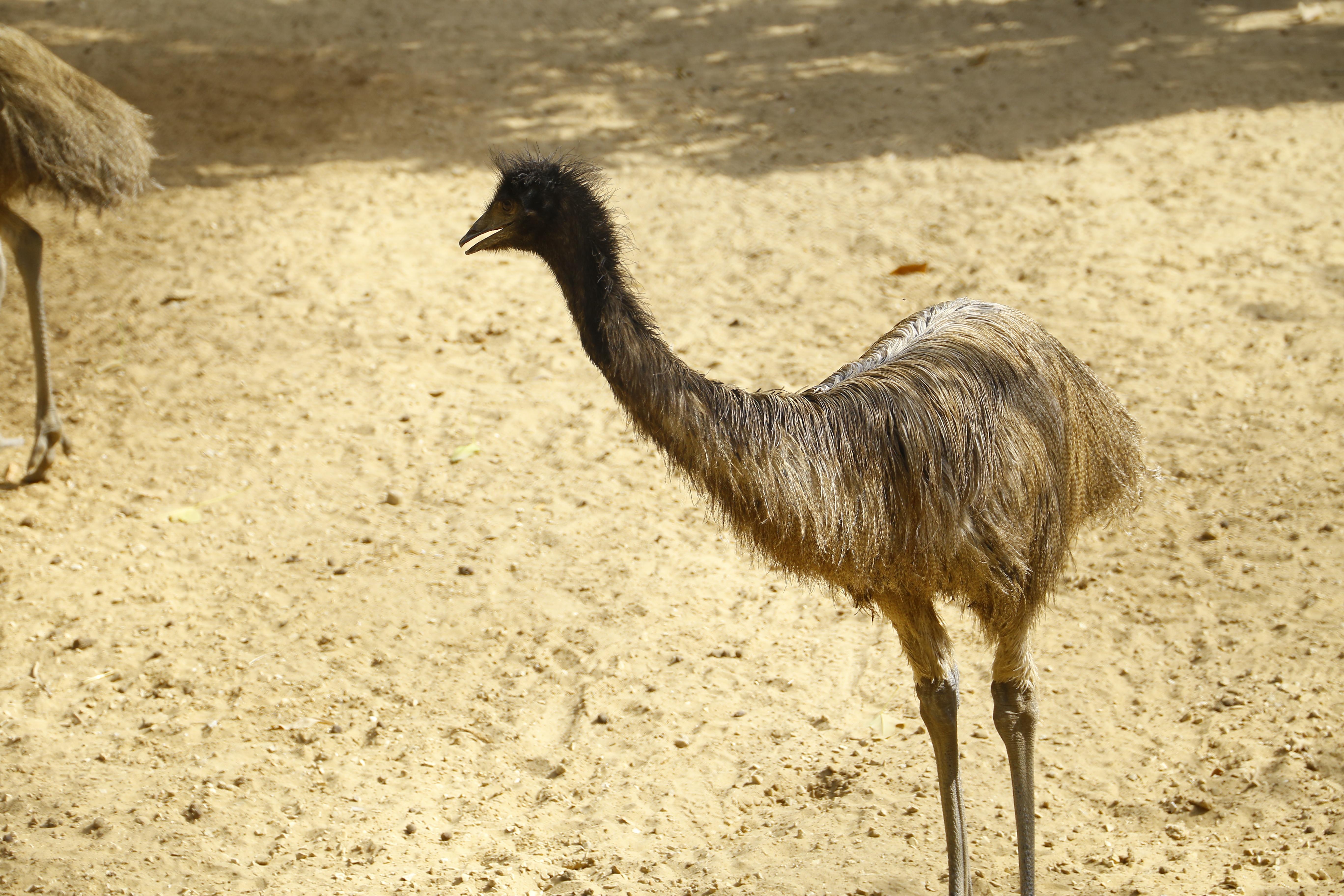 رفد حديقة الحيوانات بعدد من طيور النعام ضمن المنطقة الاستراليm