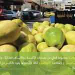 جوافة قلقيلية … دعم اقتصادي … وشهرة عالمية