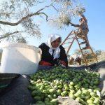 الزيتون.. رمز الفلسطينيين الأصيل